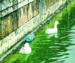 Plastica e papere Nelle vasche galleggiano le bottiglie gettate da visitatori senza educazione