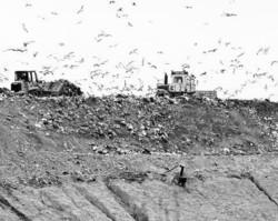 Gli uccelli A segnalare materiali organici gli stormi di gabbiani dirottati verso l'entroterra