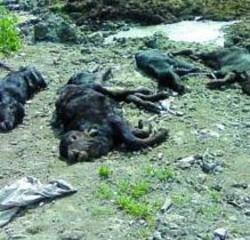 Le carcasse  La Forestale ne ha contate 11 ma sottoterra ve ne sono di più