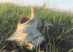 """Il teschio di bufala ritrovato nella discarica """"bonificata"""" a San Tammaro"""