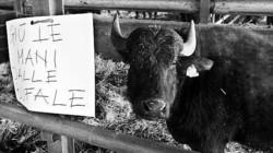 Bufale e Brucellosi