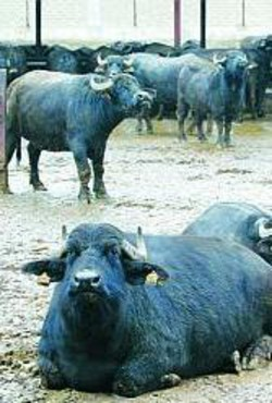 Bufale del casertano